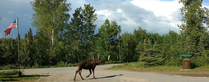 Watch moose take a Spring stroll